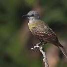 Western Kingbird by Richard G Witham
