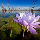 Water Lilly, Lake Nuga Nuga National Park by Ian Beattie