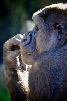 Contemplative Gorilla by Renee Hubbard Fine Art Photography
