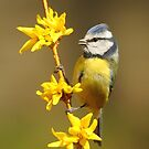 Blue Tit, Yellow Branch by CBoyle