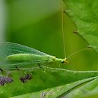 Green Lacewing by relayer51