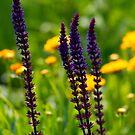Purple Sage by Edward Myers