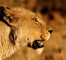 Hunting lioness by Graeme Shannon