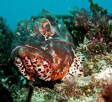 Scorpaena Sumptuosa (Western Red Rock Cod) - Scarborough, Western Australia by Brad Duyvestyn