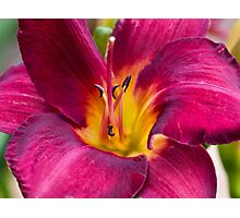 Yet another Day lily Photographic Print