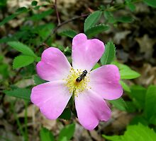 Cherokee Rose with Bee by CorinaDelor