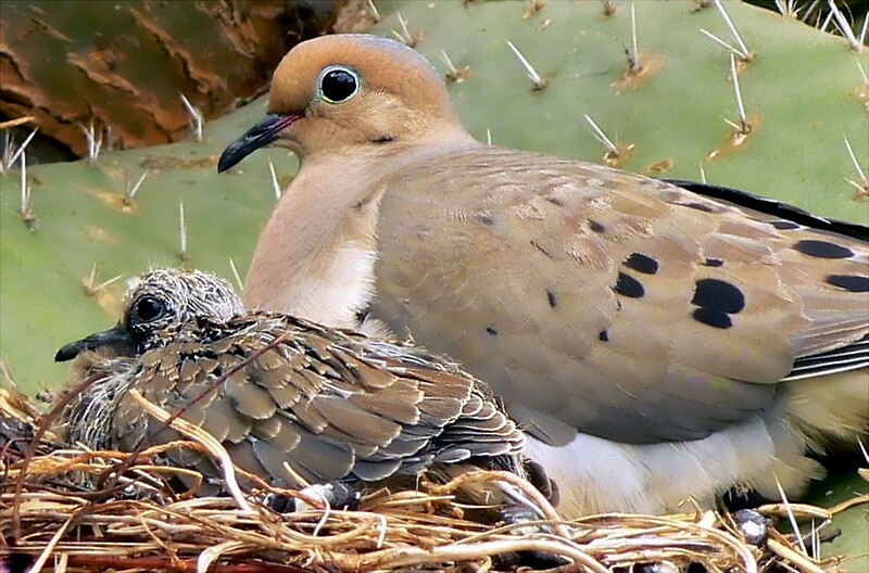 """Mourning Doves: Thorn Baby and Proud Mother"" by ..."