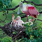 Mother Roseate and her chicks by Bonnie T.  Barry