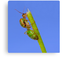 Study of Green Ant #3 Canvas Print