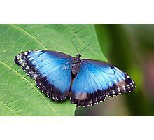 Blue Blue Morpho Blue Photographic Print