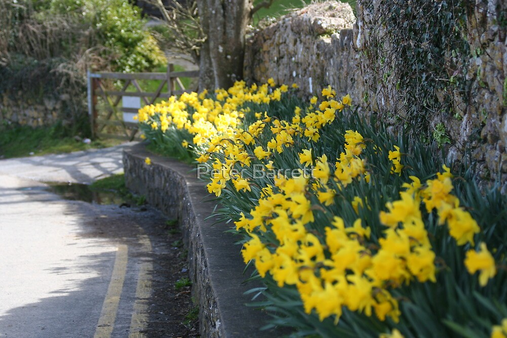 lane of daffodils by Peter Barrett