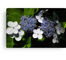 Blue Lace-Cap Hydrangea Canvas Print
