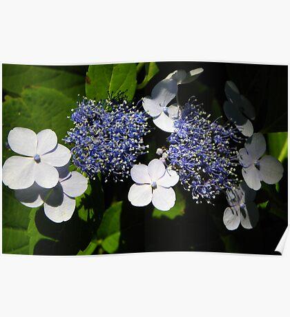 Blue Lace-Cap Hydrangea Poster