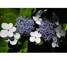 Blue Lace-Cap Hydrangea Photographic Print