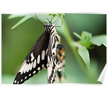 Hang in there mr butterfly - Giant Swallowtail Poster