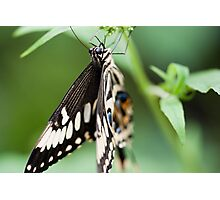 Hang in there mr butterfly - Giant Swallowtail Photographic Print