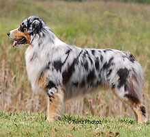 Australian Shepherd by Penny Brooks