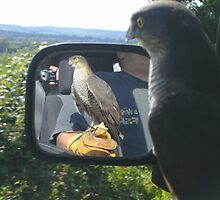 Sparrowhawk casting off the glove (from the moving car) by kellyme