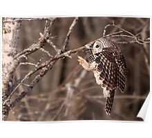 Specialized Landing Gear / Barred Owl Poster