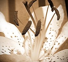 Oriental Lily named Muskadet by JMcCombie
