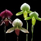 Lady Slipper Orchids. by vette