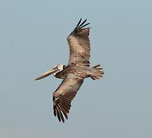 Pelican in Flight by Amy Godwin