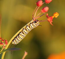 Monarch Caterpillar by Amy Godwin