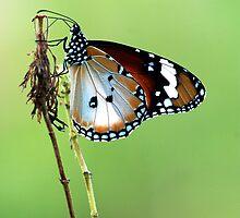 Butterfly on Perch by Amran Noordin