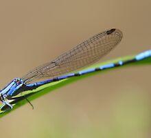 Blue Damselfly on a Perch by Joe Webb