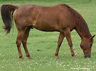 Horse Grazing by Barberelli