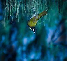 blue eyed bird by Robert Munden