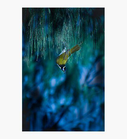 blue eyed bird Photographic Print