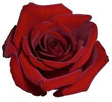 red rose on white by Anastasiya Smirnova