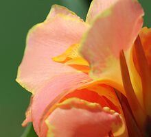 Dwarf Canna Lily named Corsica by JMcCombie