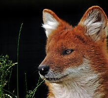 Dhole - (Cuon alpinus) by Robert Taylor