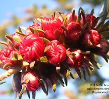 Callistemom citrinus (Myrtaceae) Red bottle brush by Esther's Art and Photography