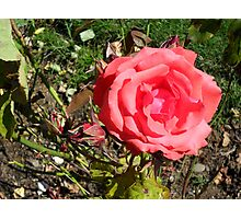 Red Rose And Companion Photographic Print