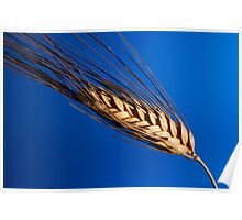 Tenons of wheat over blue background Poster