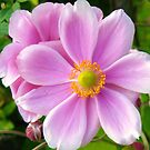 Pink Dahlia by marens