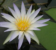 Waterlilly by Pixelpete42