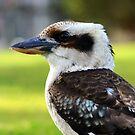 """"""" Loughing Kookaburra """"  by helmutk"""