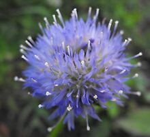 Shepards Scabiosa by Tracy Faught