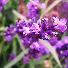 Lavender by Suzanne German