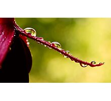 fuchsia droplets Photographic Print