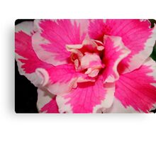 Azalea in Pink & White Canvas Print