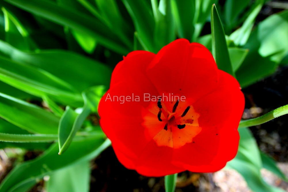 Vibrant Poppy by Angela Bashline