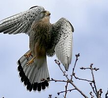 Flight Of The Kestrel by snapdecisions