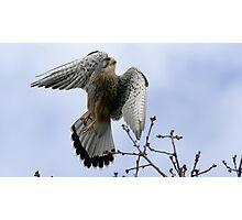 Flight Of The Kestrel Photographic Print