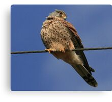 Holding The Line - Common Kestrel - None Captive Canvas Print