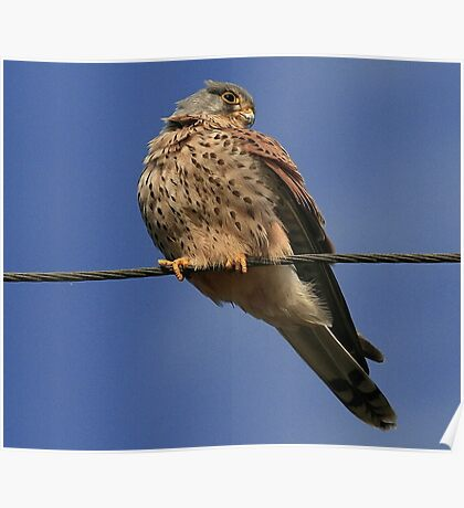 Holding The Line - Common Kestrel - None Captive Poster